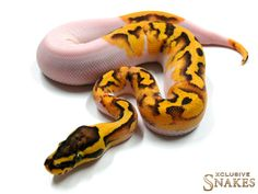 Enchi Firefly Pied - Morph List - World of Ball Pythons