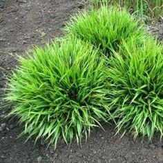 Bika chlupatá ´Igel´ - Luzula pilosa 'Igel' Shade Garden, Garden Plants, Night Garden, Garden Landscape Design, Ornamental Grasses, Landscaping Plants, Tropical Garden, Growing Vegetables, Garden Planning