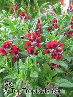 Cuphea llavea, Cuphea barbigera, Cigar Plant, Bat Head, Bat Face, St Peter Plant