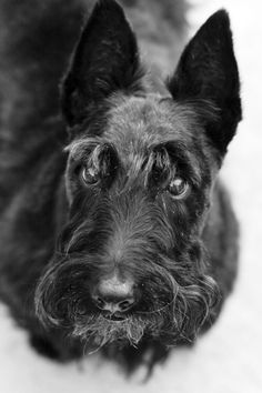 Portraits of a distinguished scottie dog named Shadow (scottish terrier photos) « HJB Professional Photographers