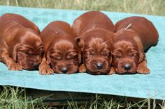 IRISH SETTER PUPPIES !!! - Exclusively Setters