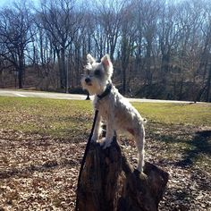 11 things only Schnauzer parents will understand....so true.