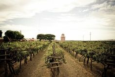 Ica, Peru. Vineyards. Good pisco begins with quality grapes and winemaking.