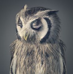 The Arrogant Beauty Of An Owl. photo © Tim Flach.