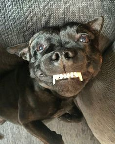 The 21 Most Terrible Things Staffordshire Bull Terriers Did In 2016