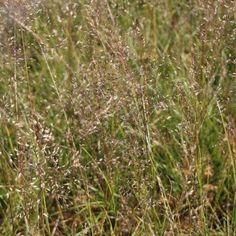 Un parfum de Coriandre Le Sporobolus 'Wisconsin' est une graminée très graphique, allant dans tous les jardins ! Son feuillage caduc et vert fin devient brun en automne. Le Sporobolus 'Wisconsin' illumine les coins les plus sombres du jardins.De juillet à Octobre, le Sporobulus 'Wisconsin' donne de petits épis rouge à l'odeur de coriandre.  Il est rustique jusqu'à -15°C et préfère les expositions ensoleillées ou mi-ombragées.