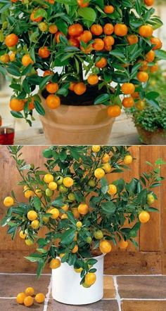 How to grow citrus trees in a containers #Fruit_Gardening