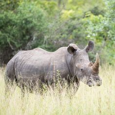 539 отметок «Нравится», 3 комментариев — Rudi Hulshof (@rudihulshof) в Instagram: «From a time a few months ago when #rhino we're not only facing the threat of extinction due to…»
