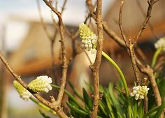 How-To: Forcing Hyacinth
