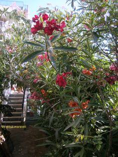Πικροδάφνη 'η ροδοδάφνη.Γνωστή στους αρχαίους Ελληνες ως «νήριον» ή «νηρίς». Σύμφωνα με τον Διοσκορίδη, τα φύλλα και τα άνθη της «συν οίνω πινόμενα» μπορούν να σώσουν τον άνθρωπο από το δάγκωμα δηλητηριωδών εντόμων ή ερπετών. Η νηριίνη, τοξική δηλητηριώδης ουσία, περιέχεται σε όλα τα μέρη του φυτού, γι' αυτό δεν το τρώνε τα ζώα. Με φύλλα πικροδάφνης φράζονται οι φωλιές των ποντικών, οι οποίοι στην προσπάθεια.. Δείτε εδώ:http://www.tovima.gr/vimadeco/garden/article/?aid=386319