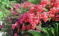 Hawaiian Bougainvillea | Boerhavia torreyana species image page from Vascular Plants of the ...