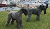 Kerry Blue Terrier breed info,Pictures,Characteristics,Hypoallergenic:Yes Kerry Blue Terrier Rassenmerkmale, Hypoallergen: Ja Best Hypoallergenic Dogs, Medium Sized Dogs Breeds, Terrier Dog Breeds, Dog List, Medium Dogs, Doge, Pictures, Pet Dogs, Photos