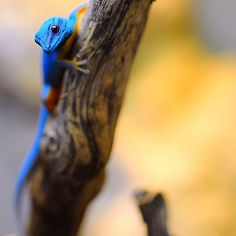 all-reptiles:    Electric blue gecko ✿⊱╮