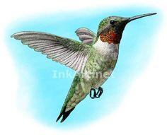 Hummingbird Art | Ruby-Throated Hummingbird (Archilochus colubris) Line Art and Full ...