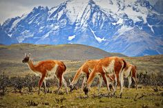 Guanacos - Torres del Paine - travel off the beaten path on excursions organized by CIEE or explore on your own over weekends and school breaks