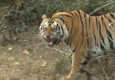 Magnificent is what tigers are termed as. The beautiful charismatic tigers are found at Tadoba Tiger Reserve in India.