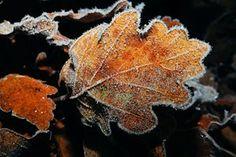 Oak, Leaf, Leaves, Ground, Winter