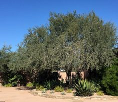 Olneya tesota Common name: Ironwood Native to the Sonoran Desert regions of southeastern California, Arizona and Mexico; can also be found growing in the Baja region of Mexico Hardy to 20 degrees F zone 9 Extremely drought tolerant once established and is able to survive on natural rainfall; however, appreciates being watered once a month in summer Full sun 30 feet tall and wide The seeds are an important food source for birds and small mammals