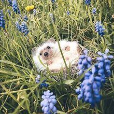 Hakuna Matata #hedgehog #hakunamatata #springvibes #flowerchild #smiling #happiness