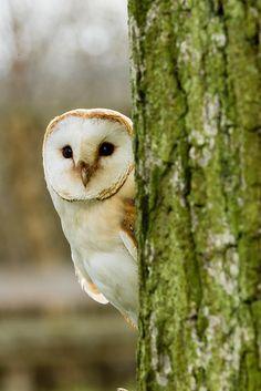 Source: Flickr / lightinfocus  #barn owl