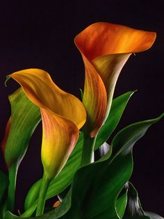 Few fresh cut flowers offer the elegance and versatility of the calla lily. If you are designing your own wedding bouquet, centerpieces or arrangements, the calla lily will provide all of the style… Exotic Flowers, Amazing Flowers, Fresh Flowers, Lily Painting, Calla Lily Bouquet, Garden Care, Flower Pictures, Flower Art, Orchids
