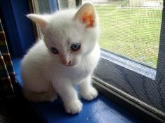 White blue - http://cutecatshq.com/cats/white-blue-3/