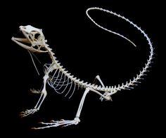 lizard skeleton - Google Search