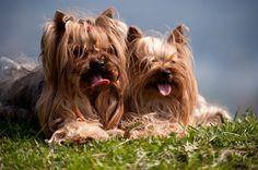 Cómo cuidar a un Yorkshire terrier | eHow en Español