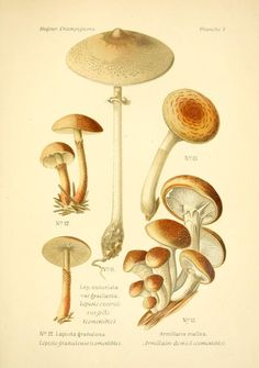 armillaire sans anneau armillaria tabescens champignons comestibles pinterest armillaire. Black Bedroom Furniture Sets. Home Design Ideas