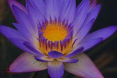 bluish purple water lily