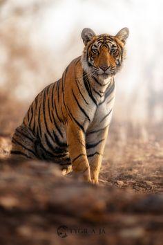 Tigress - Royal bengal tiger (Panthera tigris tigris)