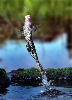 Leaping frog -Agile amphibian ... leaping frog captured by super snapper Kim Taylor