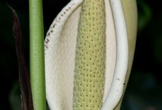 Plant: Philodendron or Monstera fruit..........
