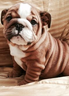 English Bulldog puppy -- look at those wrinkles! ALMOST as beautiful as my Chloe bully love. :3