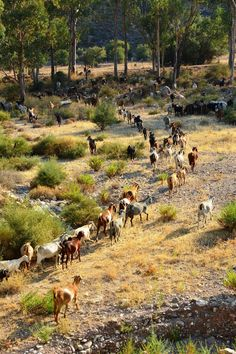 Goats in Pafos Cyprus Island, Cyprus Holiday, Cyprus Greece, What Dreams May Come, Paphos, Island Nations, 10 Picture, Corfu, Cool Landscapes