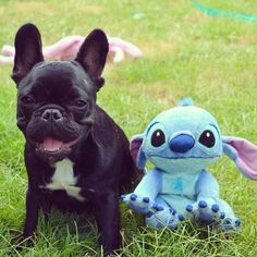 French Bulldog looks just like a  'Lilo and Stitch' Character.