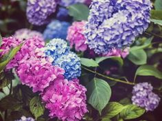 Easily change the color of your hydrangea flowers by changing the soil's Ph. Check these details of how to change hydrangea colors and enjoy the color show! Hydrangea Color Change, Hydrangea Colors, Hydrangea Care, Hydrangea Flower, Hydrangeas, Purple Flowers, Sun Garden, Autumn Garden, Shade Garden