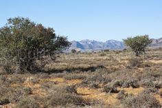 - Sweet Thorn trees and mountains in the Great Karoo, Eastern Cape, South Africa Biomes, Aberdeen, Biology, South Africa, Cape, Southern, Trees, Mountains, Google Search