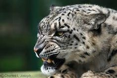 Angry Snow Leopard - Bing Images