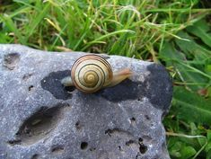 Carlingford- Templetown- The Breakers #1- piddock stone and snail- DSCF0690