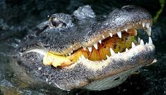 Don't Mess with Alligators in Texas!