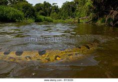 Green or Common Anaconda Eunectes murinus Pacaya Samiria National Park, Amazon rainforest, Peru WILD