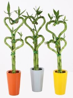 HGTV Gardens presents 13 different houseplants that contain health benefits for you and your family. Bamboo Plants, Indoor Plants, Health Benefits, Health Tips, Common House Plants, Household Plants, Lucky Bamboo, For Your Health, Hgtv