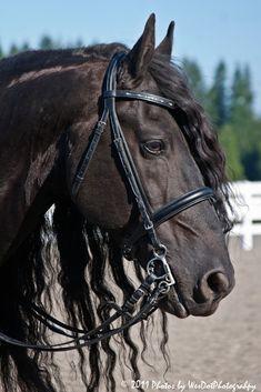 Friesian mare - Beautiful Black Pearl.