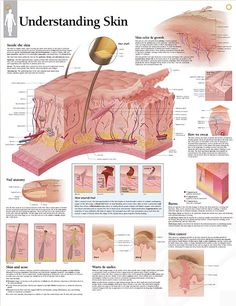 Understanding Skin anatomy poster depicts hair shaft, subcutaneous areas, acne, warts, skin cancer, and three degrees of skin burns. Dermatology chart for doctors and nurses.