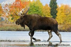 Moose (Alces americanus) - Together with its close relative the Eurasian elk (Alces alces), the Moose is the largest living deer species. (33 photos)