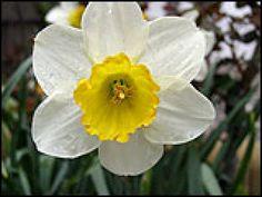 Narciso: una flor de leyenda.