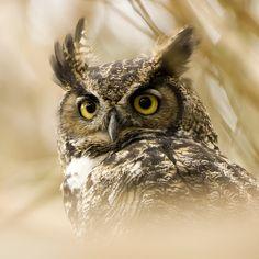owl grill   juvenile great horned owl ~ bubo virginianus   matt knoth   Flickr