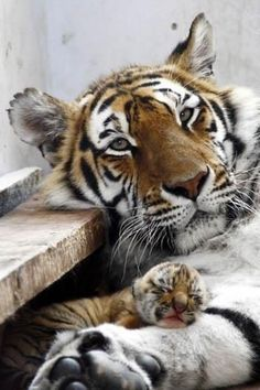 adorable baby tiger sleeping on its mother's leg