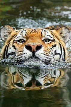 Un Tigre, la tête à moitié hors de l'eau, qui est en train de nager